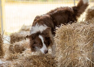 dog hunting rats in hay